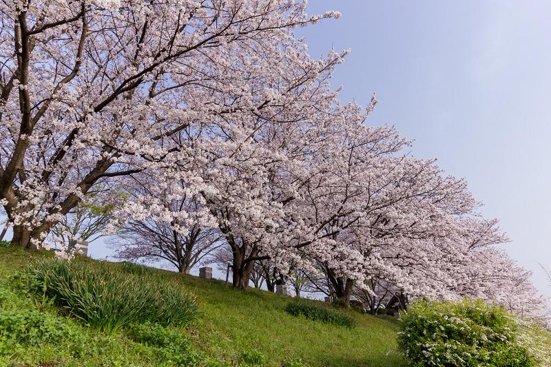 2021桜咲く京都  満開!木津川堤_f0155048_22362416.jpg