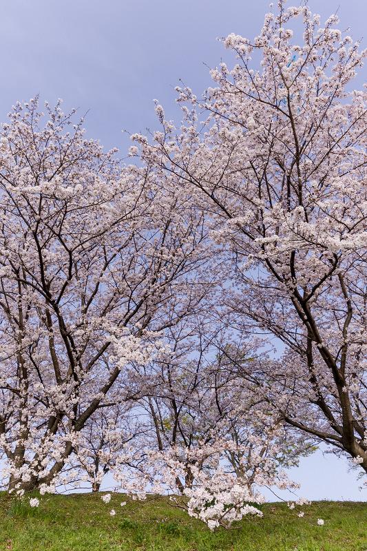 2021桜咲く京都  満開!木津川堤_f0155048_22362890.jpg