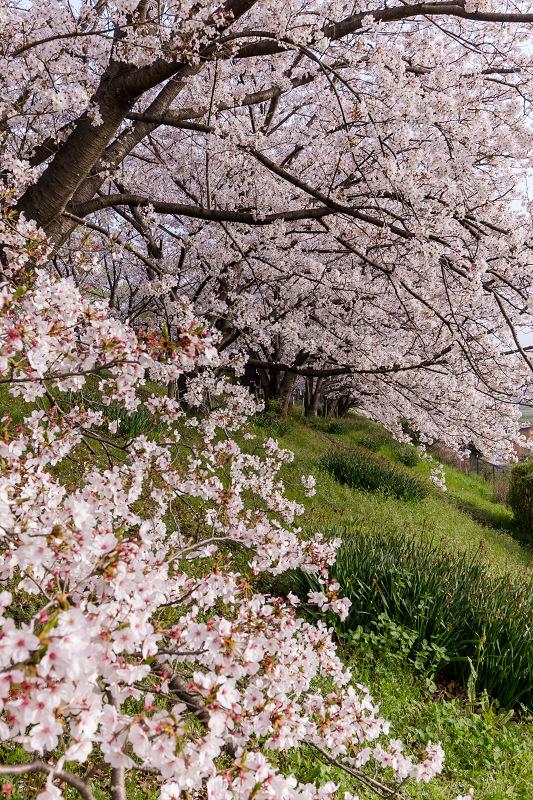 2021桜咲く京都  満開!木津川堤_f0155048_22374133.jpg