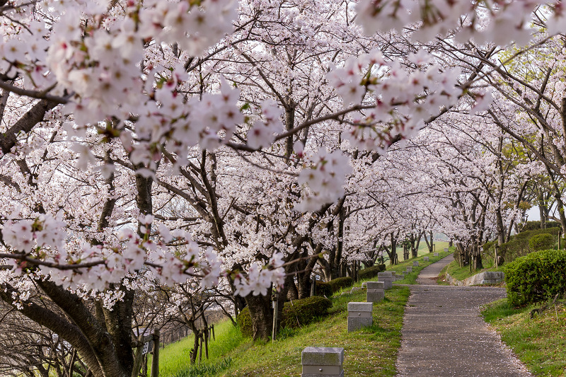 2021桜咲く京都  満開!木津川堤_f0155048_22383232.jpg