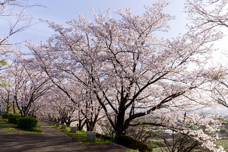 2021桜咲く京都  満開!木津川堤_f0155048_22385268.jpg