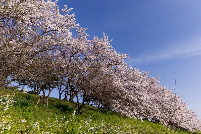 2021桜咲く京都  満開!木津川堤_f0155048_22390616.jpg