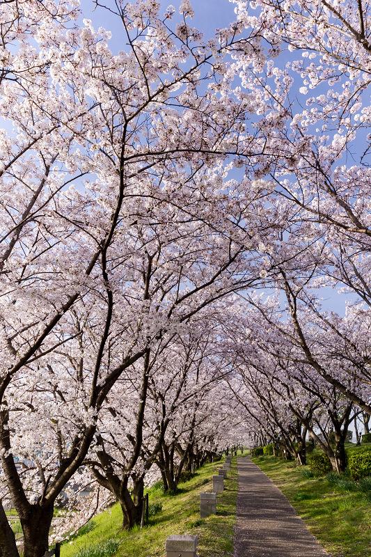 2021桜咲く京都  満開!木津川堤_f0155048_22393374.jpg
