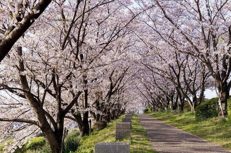 2021桜咲く京都  満開!木津川堤_f0155048_22394695.jpg