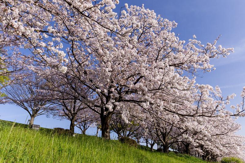 2021桜咲く京都  満開!木津川堤_f0155048_22395560.jpg