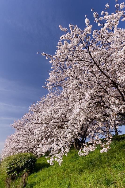 2021桜咲く京都  満開!木津川堤_f0155048_22400618.jpg