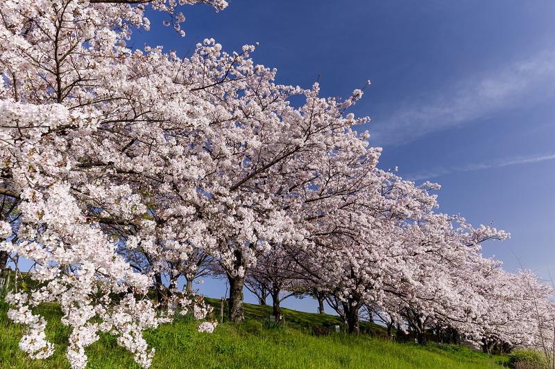 2021桜咲く京都  満開!木津川堤_f0155048_22401657.jpg