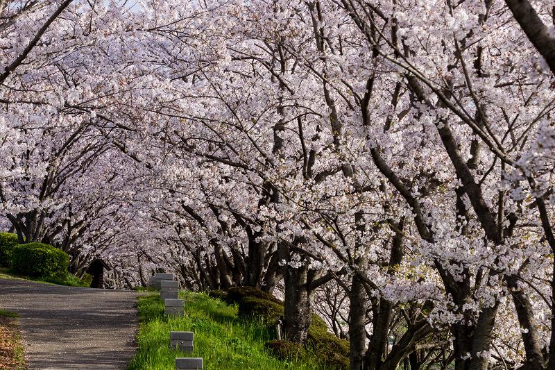 2021桜咲く京都  満開!木津川堤_f0155048_22402661.jpg