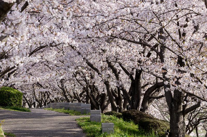 2021桜咲く京都  満開!木津川堤_f0155048_22403633.jpg