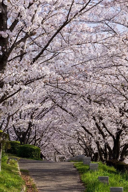 2021桜咲く京都  満開!木津川堤_f0155048_22404562.jpg