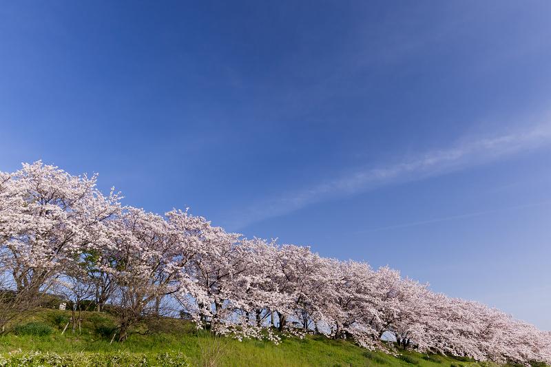 2021桜咲く京都  満開!木津川堤_f0155048_22413786.jpg