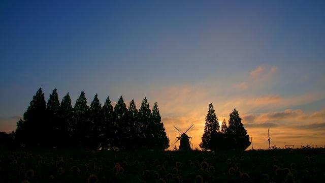 早朝のヒマワリ畑_c0069055_16445811.jpg