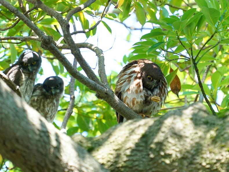 アオバズクの雛は3羽居ました! SMJ_a0382822_09545739.jpg