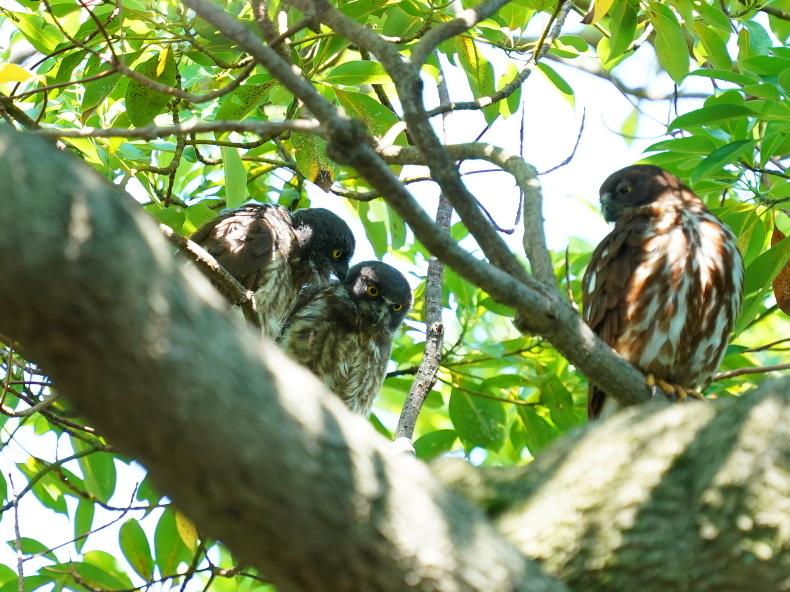 アオバズクの雛は3羽居ました! SMJ_a0382822_09562152.jpg