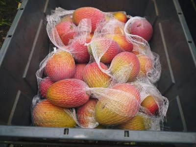 樹上完熟アップルマンゴー収穫最盛期!最高級の「煌」&お求めやすいファミリータイプを随時出荷中!_a0254656_17563149.jpg