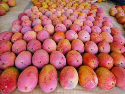樹上完熟アップルマンゴー収穫最盛期!最高級の「煌」&お求めやすいファミリータイプを随時出荷中!_a0254656_17575755.jpg