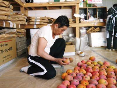 樹上完熟アップルマンゴー収穫最盛期!最高級の「煌」&お求めやすいファミリータイプを随時出荷中!_a0254656_17593405.jpg