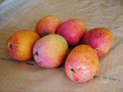 樹上完熟アップルマンゴー収穫最盛期!最高級の「煌」&お求めやすいファミリータイプを随時出荷中!_a0254656_17594780.jpg