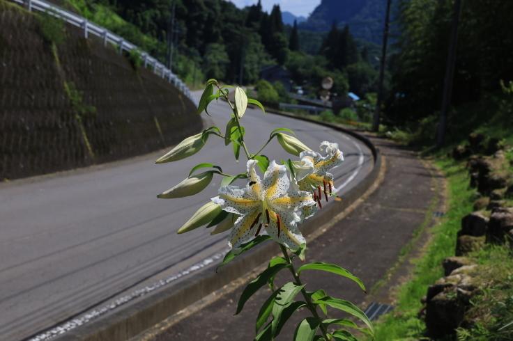 路傍に咲く ~ヤマユリ~ (2021/7/19撮影)_b0369971_17322047.jpg