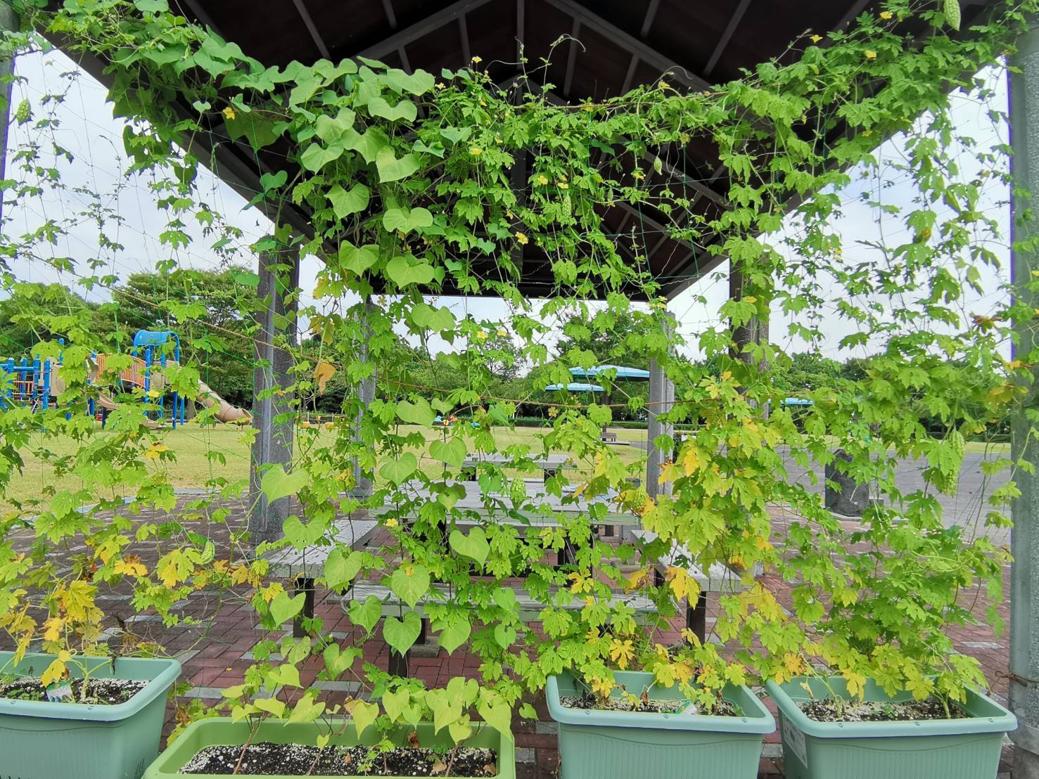 緑のカーテン(ゴーヤ・アサガオ)栽培実験R2.7.23_d0338682_16451196.jpg