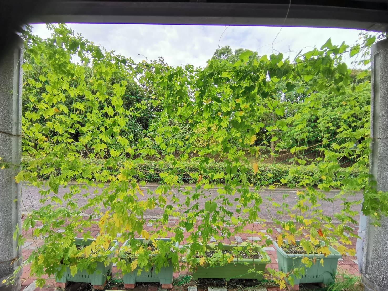 緑のカーテン(ゴーヤ・アサガオ)栽培実験R2.7.23_d0338682_16451932.jpg