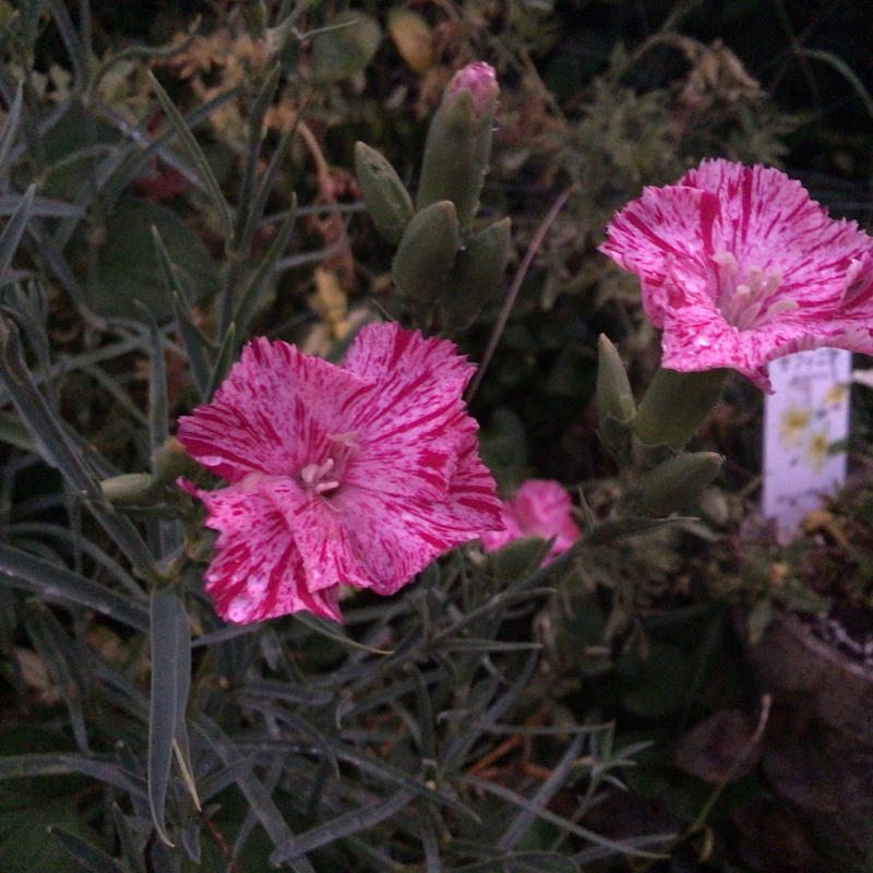 夜8時前に撮った庭の花_c0404712_22004965.jpg