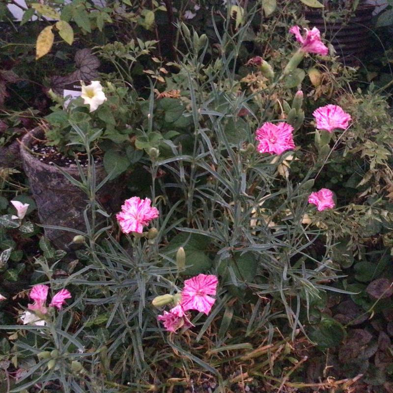 夜8時前に撮った庭の花_c0404712_22005130.jpg