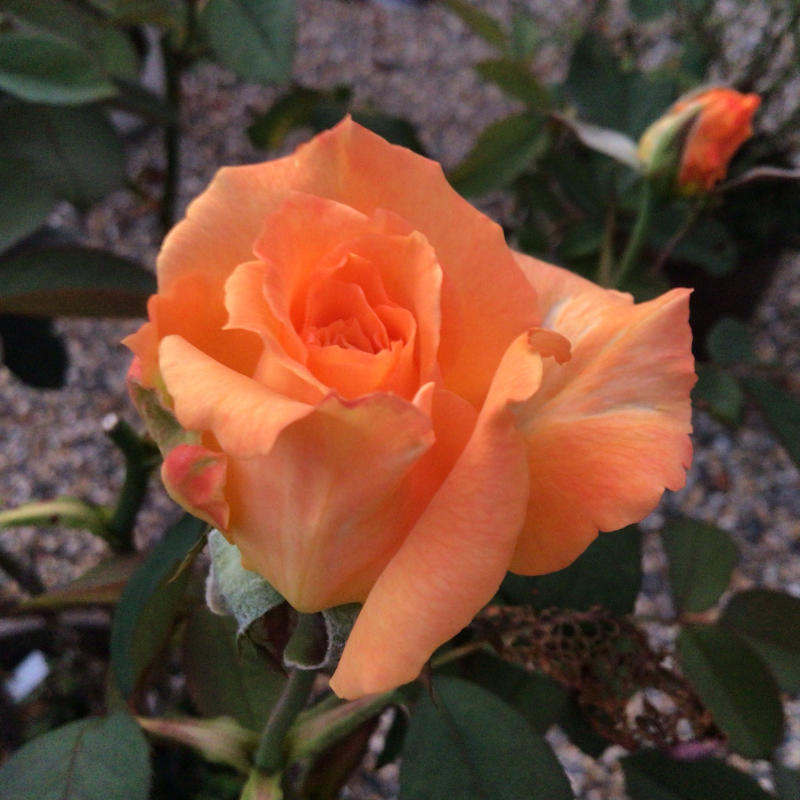 夜8時前に撮った庭の花_c0404712_22011056.jpg