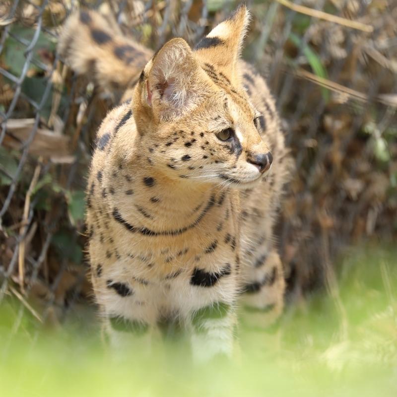 多摩動物園の耳が大きなネコちゃんと、顔がごっついネコちゃん - 旅プラスの日記