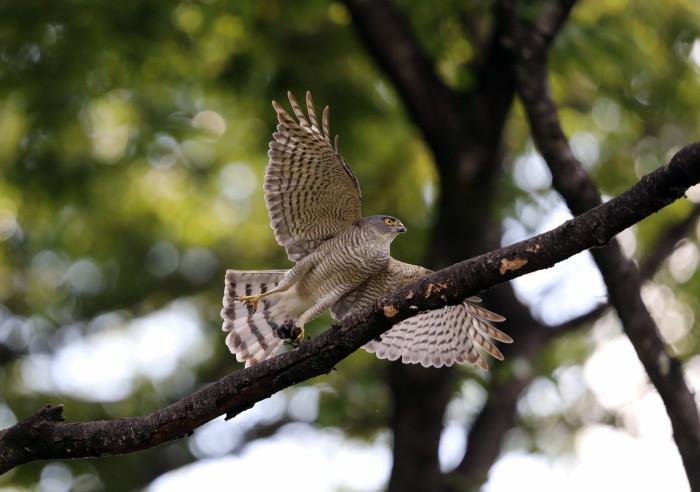 近隣の公園のツミ その10  (餌運び)_f0239515_14270107.jpg