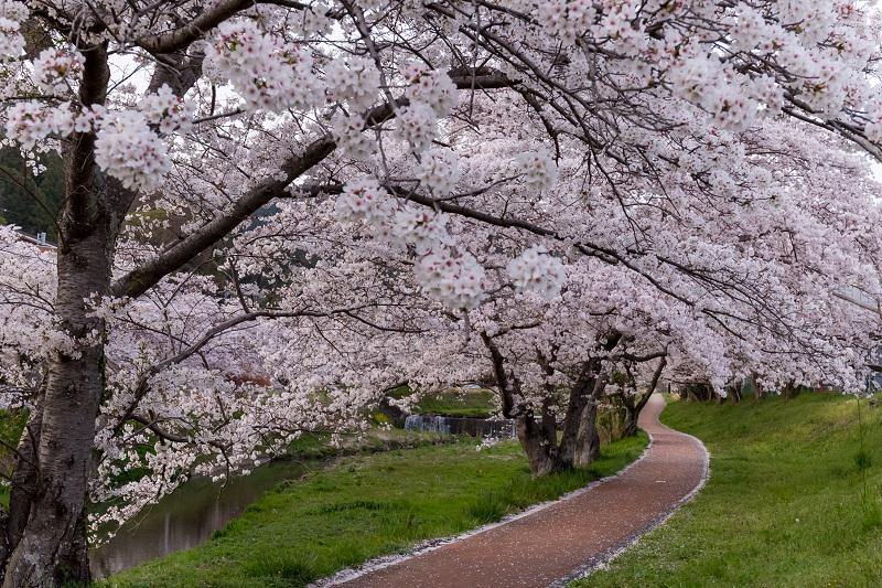 2021桜咲く京都 夕景・やすらぎの道(田原川)_f0155048_22314893.jpg