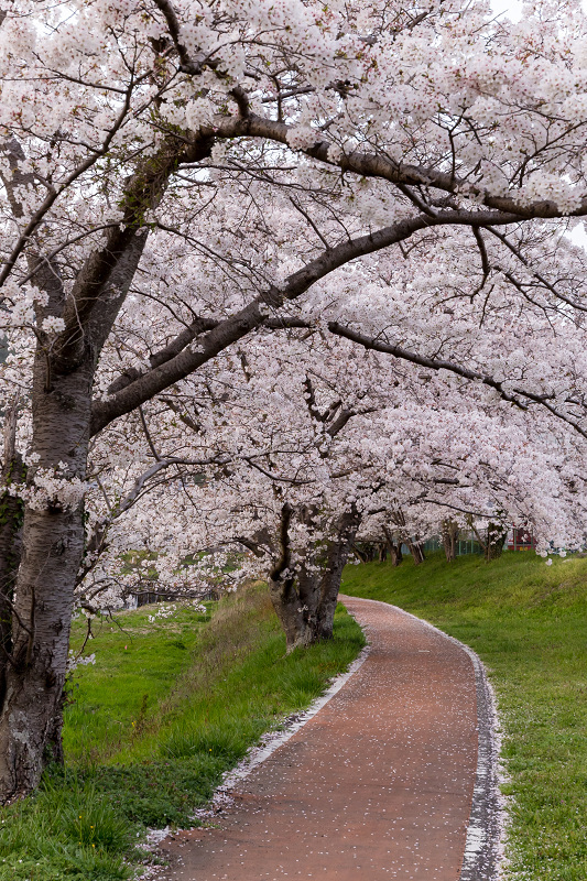 2021桜咲く京都 夕景・やすらぎの道(田原川)_f0155048_22315730.jpg