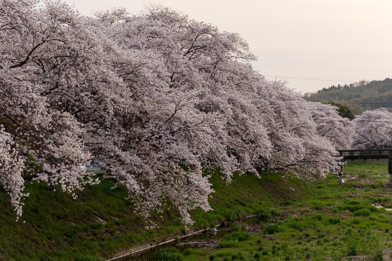 2021桜咲く京都 夕景・やすらぎの道(田原川)_f0155048_22324912.jpg
