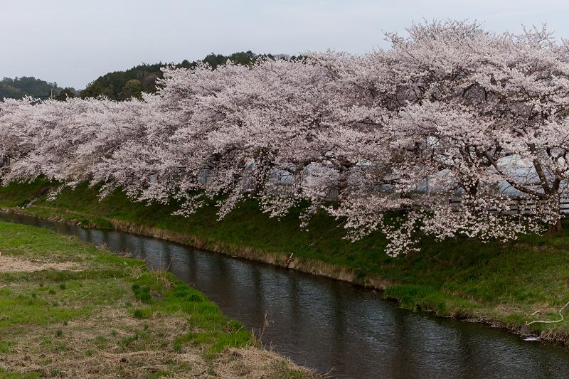 2021桜咲く京都 夕景・やすらぎの道(田原川)_f0155048_22330949.jpg