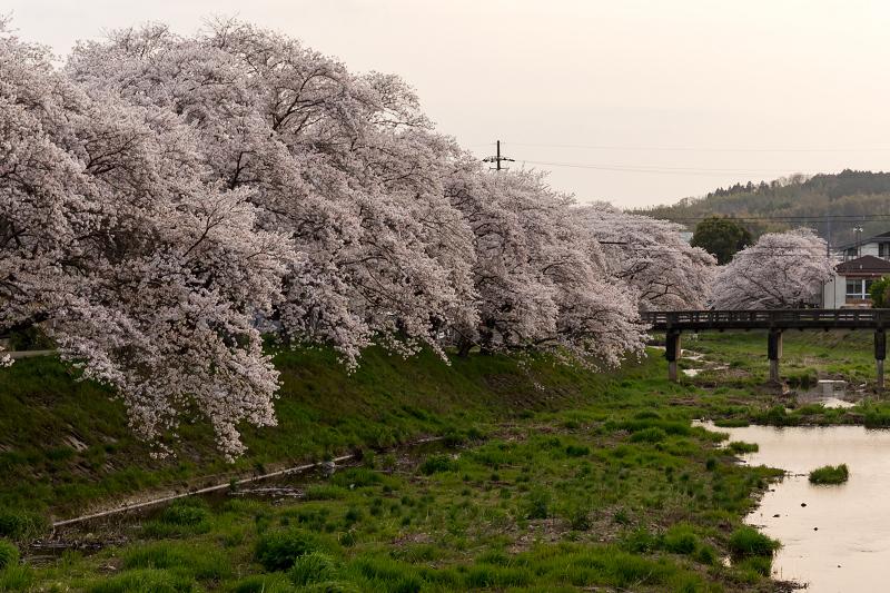 2021桜咲く京都 夕景・やすらぎの道(田原川)_f0155048_22332359.jpg