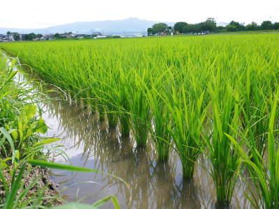 七城米 熊本県菊池市七城町の「長尾農園」さんのお米は今年も見事に美しすぎる田んぼで元気に成長中!_a0254656_17351065.jpg