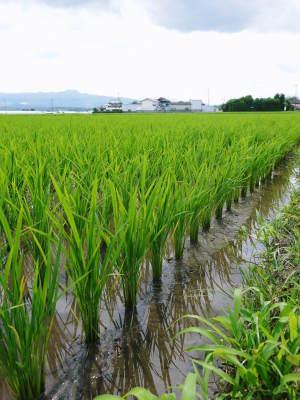 七城米 熊本県菊池市七城町の「長尾農園」さんのお米は今年も見事に美しすぎる田んぼで元気に成長中!_a0254656_17372449.jpg