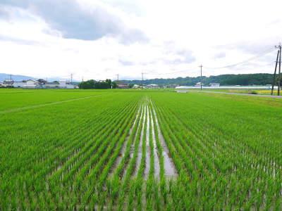 七城米 熊本県菊池市七城町の「長尾農園」さんのお米は今年も見事に美しすぎる田んぼで元気に成長中!_a0254656_17392043.jpg