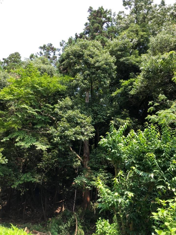 裏山の高木伐採 アーボリストという職業 - 国産材・県産材でつくる木の住まいの設計 FRONTdesign