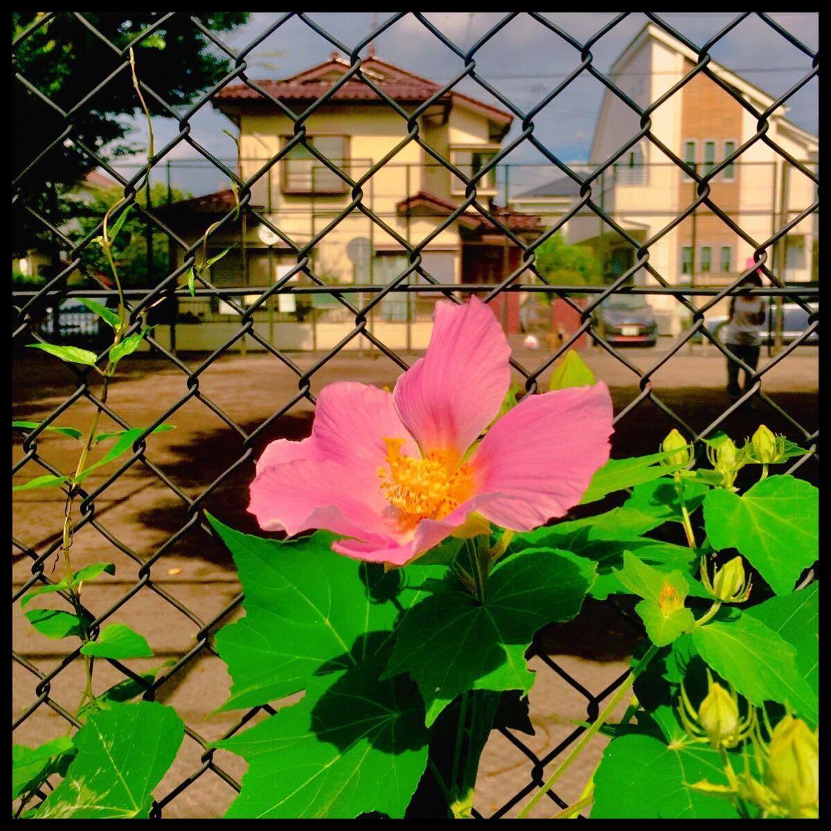 7月28日(水)芙蓉の花が咲く季節 - 毎日jogjob日誌 by東良美季