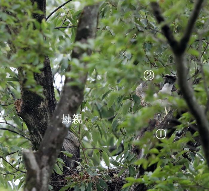 近隣の公園のツミ その12(母親の巣からの飛び出し)_f0239515_20440341.jpg
