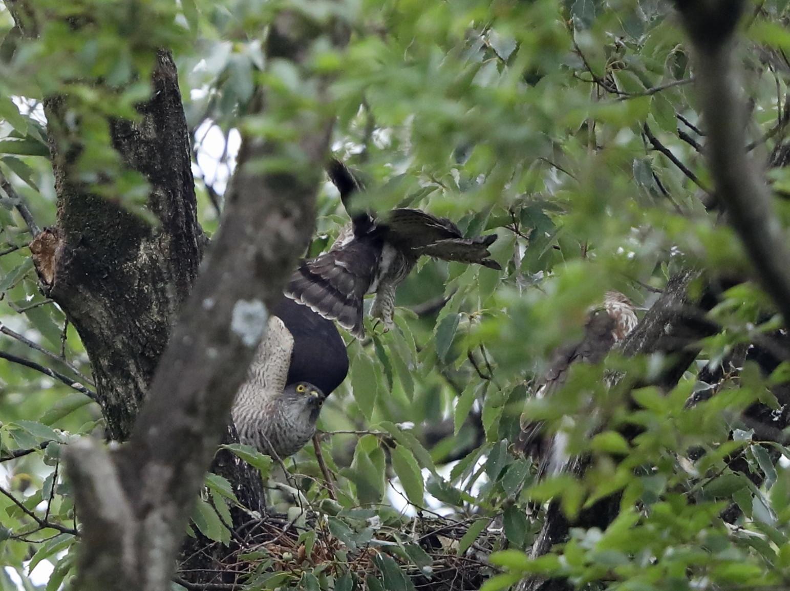 近隣の公園のツミ その12(母親の巣からの飛び出し)_f0239515_20445070.jpg