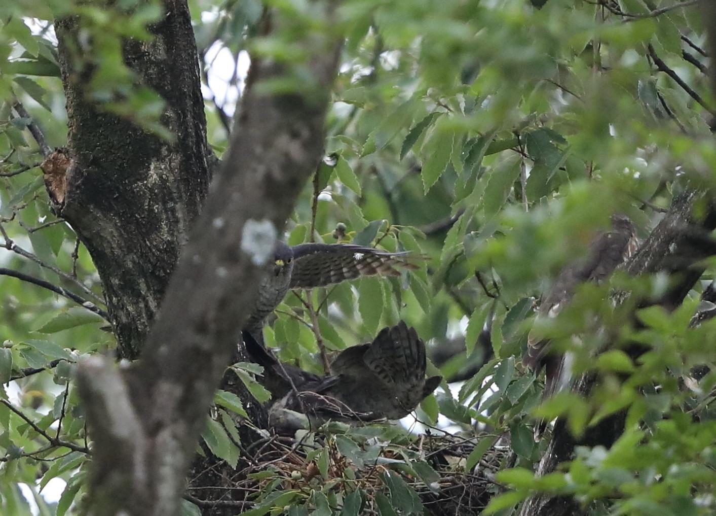 近隣の公園のツミ その12(母親の巣からの飛び出し)_f0239515_20452909.jpg