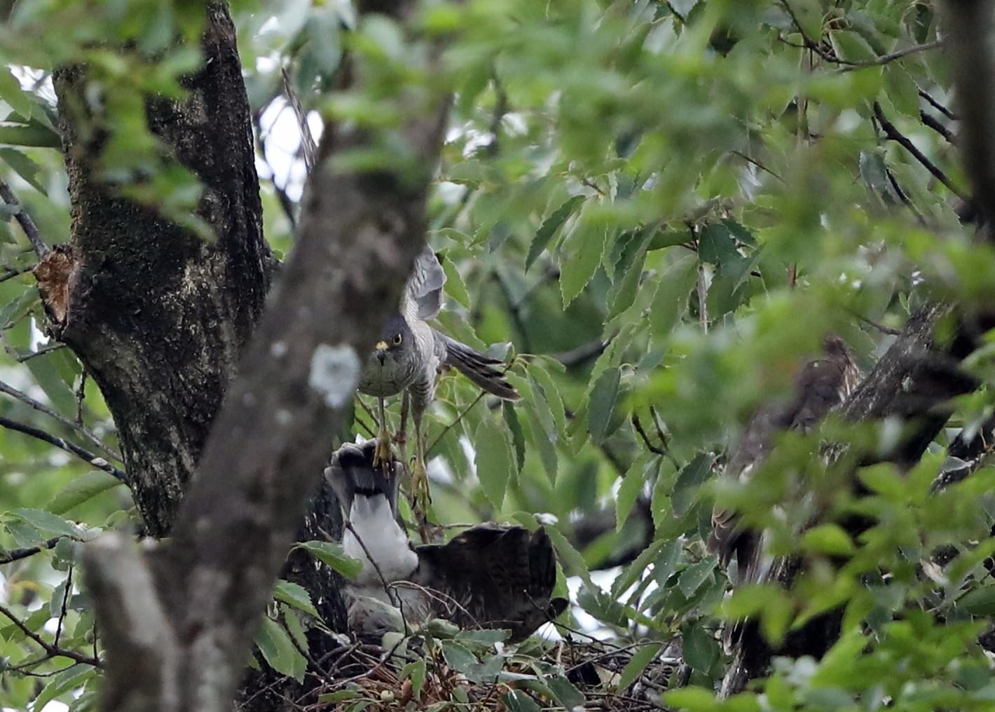 近隣の公園のツミ その12(母親の巣からの飛び出し)_f0239515_20455951.jpg