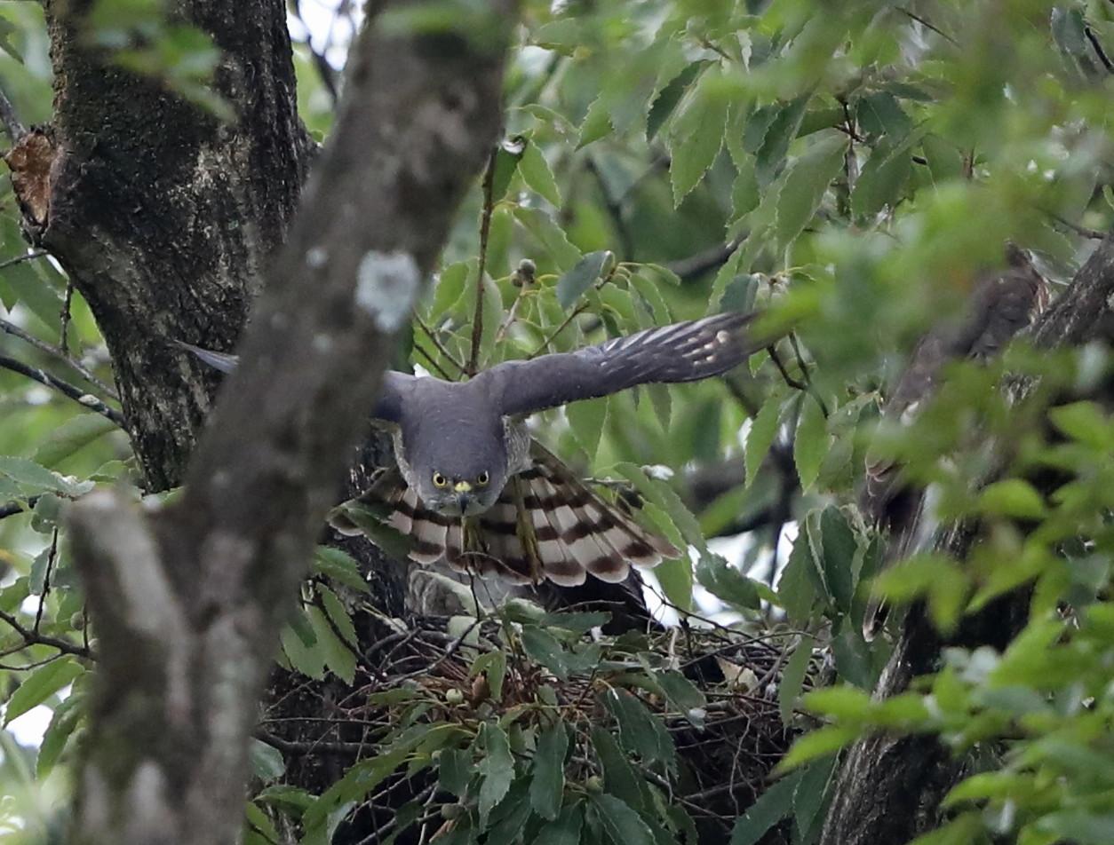 近隣の公園のツミ その12(母親の巣からの飛び出し)_f0239515_20481590.jpg