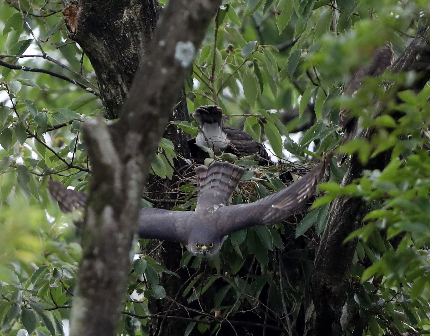 近隣の公園のツミ その12(母親の巣からの飛び出し)_f0239515_20485751.jpg