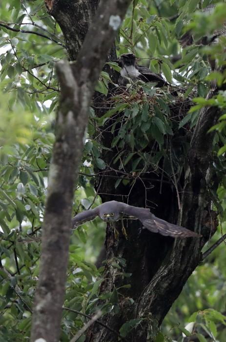 近隣の公園のツミ その12(母親の巣からの飛び出し)_f0239515_20492761.jpg