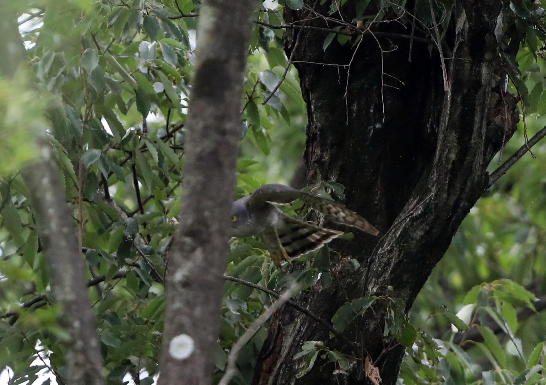 近隣の公園のツミ その12(母親の巣からの飛び出し)_f0239515_20495937.jpg