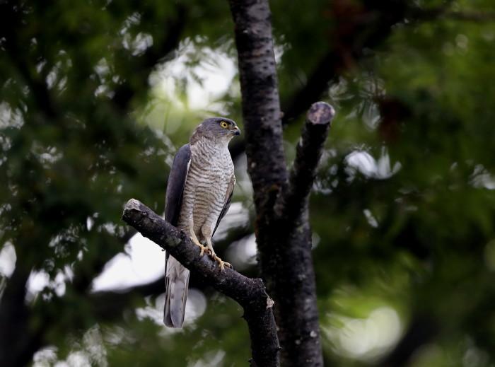 近隣の公園のツミ その12(母親の巣からの飛び出し)_f0239515_21271481.jpg