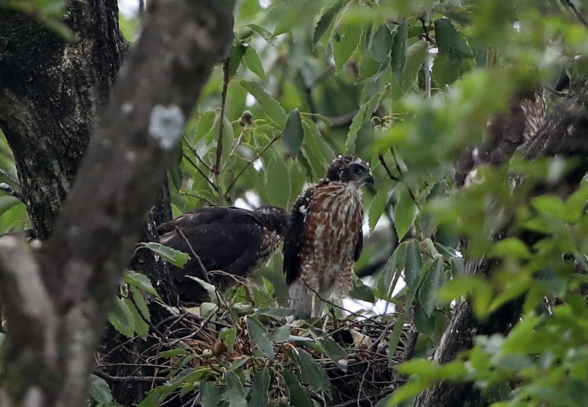 近隣の公園のツミ その12(母親の巣からの飛び出し)_f0239515_21280525.jpg
